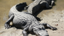 Alligators on the Beach HD Wallpaper