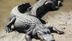 Alligators on the Beach HD Wallpaper