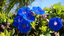 Blue Bell Flowers HD Wallpaper
