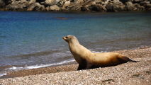 California Sea Lion HD Wallpaper