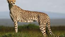 Cheetah HD Wallpaper
