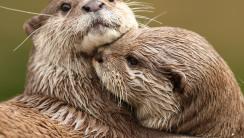 Cuddling Otters HD Wallpaper