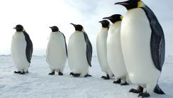 Emperor Penguins HD Wallpaper