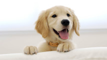Photo of Golden Retriever Puppy HD Wallpaper