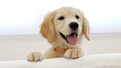 Photo of Golden Retriever Puppy HD Wallpaper