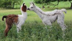 Kissing Llamas HD Wallpaper