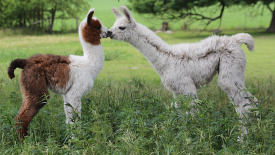 Kissing Llamas HD Wallpaper