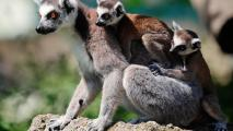 Lemur Family HD Wallpaper