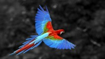 McCaw Parrot in Flight HD Wallpaper