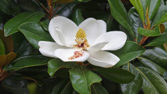 Magnolia Flower HD Wallpaper