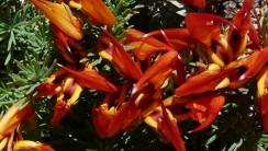 Orange and Yellow Parrot's Beak HD Wallpaper