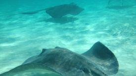 Stingrays off of Grand Cayman HD Wallpaper