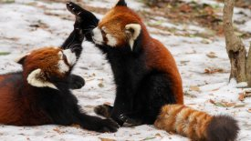 Red Pandas Playing HD Wallpaper