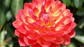 Red and Yellow Dahlia Flower HD Wallpaper