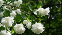 White Jasmine HD Wallpaper