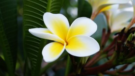White and Yellow Plumeria HD Wallpaper