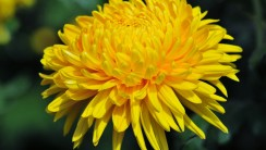 Yellow Chrysanthemum HD Wallpaper