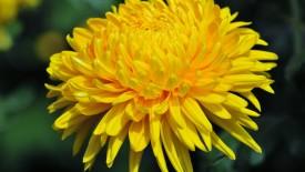 Yellow Chrysanthemum HD Wallpaper