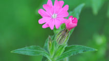 Pink Campion Flower HD Wallpaper
