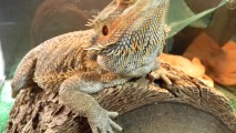 Australian Bearded Dragon HD Wallpaper