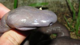 Blind Brazilian Snake HD Wallpaper