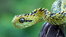 Bush Viper HD Wallpaper