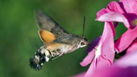 Hummingbird Hawk-Moth HD Wallpaper