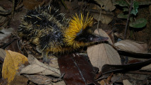 Lowland Streaked Tenrec HD Wallpaper