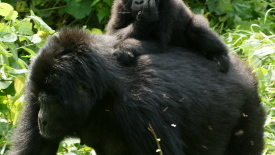 Mother and Baby Gorilla HD Wallpaper