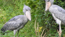 Pair of Shoebills HD Wallpaper