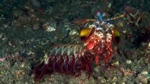Peacock Mantis Shrimp HD Wallpaper