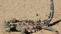 Thorny Dragon HD Wallpaper