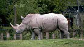 White Rhinoceros HD Wallpaper
