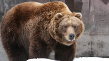Grizzly Bear HD Wallpaper