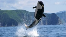 Killer Whale HD Wallpaper